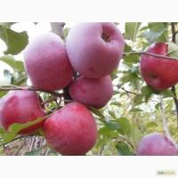 Продам яблоки Флорина