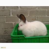 Продам кролики племеные калифорнийские