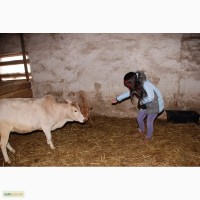 Зебу мини коровка, корова