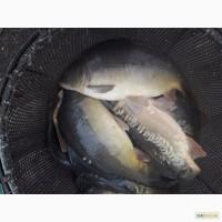 Продам живу рибу