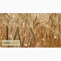 Продам посевной материал пшеницы Лесная песня Элита