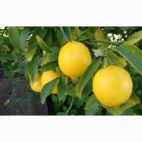 В регионе Мерсин Турции много сочного лимона