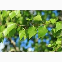Продам листя берези 50 кг