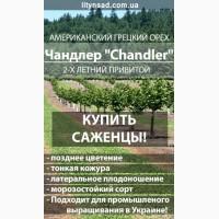 Американский Грецкий орех ЧАНДЛЕР Chandler привитой, 2-х летний