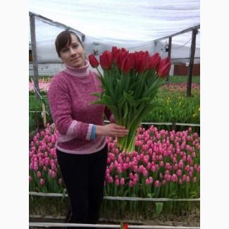 Продам Тюльпан голландский