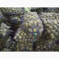 Продам картошка сорт бела роса