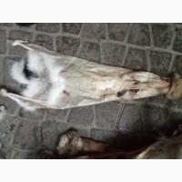Куплю шкіри зайців