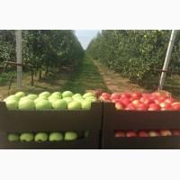 Продам яблука гарні з холодильника