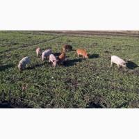 Венгерська мангалиця свиня 1, 5 місяця