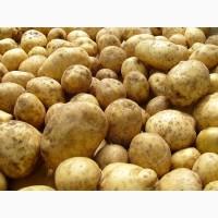 Куплю картофель оптом обьёмами, Беллароза и тд