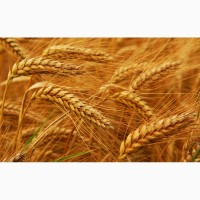 Семена элита Канадская пшеницы, ячменя, насіння озимої пшениці