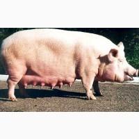 Свиноматки, кнурі хім.кастрації(імпровак)