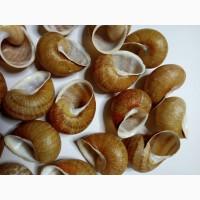 Мушлі (ракушка) равлика (улитки) Helix Aspersa Maxima