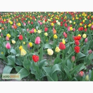 Продам луковицы тюльпанов