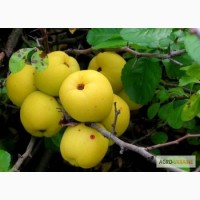 Саженцы: Айва японская (хеномелес) Chaenomeles japonica