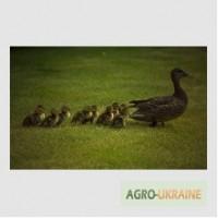 Комбикорм для гусей и уток ПК 21-2 (возраст от 1 до 3 недель)
