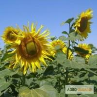 Семена подсолнечника сорта ПРОМЕТЕЙ (1репродукция) от производителя