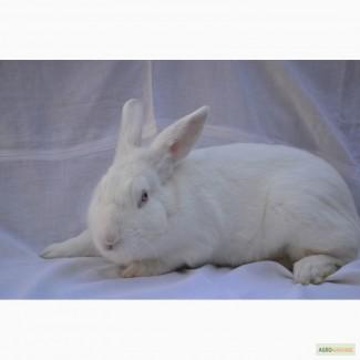 Продам кролики породи термонська