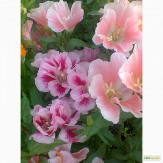 Продам насіння квітів