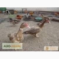 Комбікорм для качок ( Гровер ПК22-2) від 20 днів. ТМСтандарт Агро
