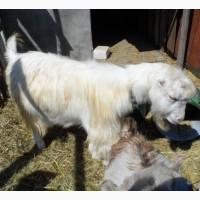 Вязка с козлом Ламанчи