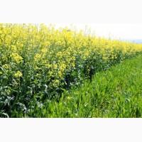 Пропонуємо насіння ріпаку КЛЕОПАТРА РС