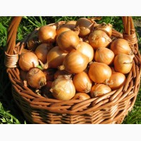 Продам лук-севок сорта Штутгартен