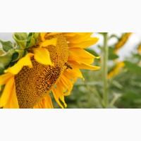 ГРАН» пропонує насіння соняшника «Атілла» 95-100дн