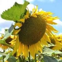 Семена подсолнуха под гранстар Антей под гранстар 50г
