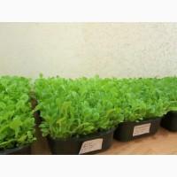 Продам семена табака, несколько наилучших сортов, более 2000 семян-20грн