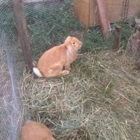 Продам тушки кроликов и закупаю молодняк кроликов
