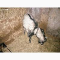 Продам козла, Зааненской породы, Безрогий