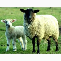 Куплю дорого баранов овец