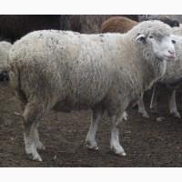 Продаю вівці