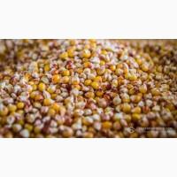 Закуповуємо проблемну кукурудзу (протравлену, червону та прострочене насіння)