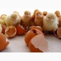 Приобретайте отборные инкубационные яйца Фокси Чик