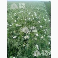 Озимый горох сорт «НС Мороз» - зерновой ультраранний урожайность 6, 2т/га