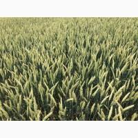 Семена канадской озимой пшеницы с документами Толедо, , Фарел, Макино 2018 г