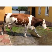 Хороша корова) Породиста