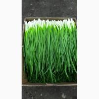 Продам зеленый лук, перо