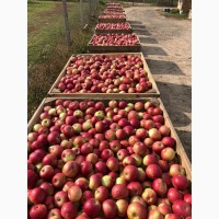 Фермерське Господарство реалізує яблука різних сортів з холодильника