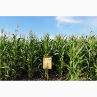 Семена кукурузы ранняя ДН Пивиха ФАО –180