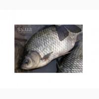 Продам живую рыбу оптом. Живой карп, живой толстолоб, живой белый амур, живой сом