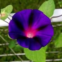 Продам семена Ипомея пурпурно-черная