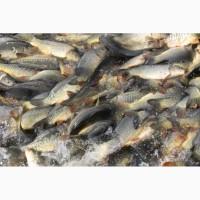 Продам рыбу