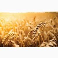 Семена ржи (жито) озимой Жатва