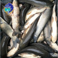 Свежая рыба оптом Карп Толстолоб Щука Карась