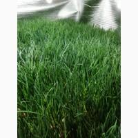 Продам зелёный лук перо Штутгарт