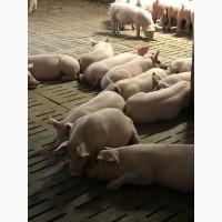 Продам оптом свиней