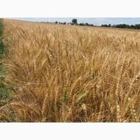 Купуємо пшеницю по Львівській області
